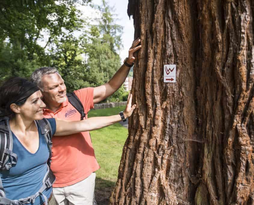 der mammutbaum im braunfelser kurpark etappen 11 und 12